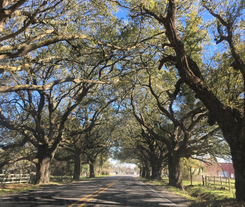 Live Oak Canopy, St. Bernard Parish